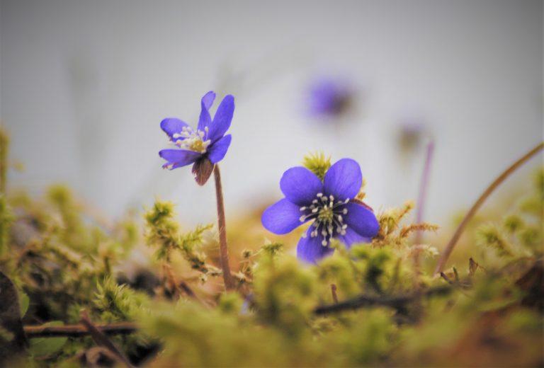 Blåveisen blomstrer tidlig nede ved Trondheimsfjorden